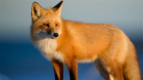 animal fox  wallpaper hd wallpapers