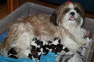 vendo cuccioli cane shih tzu Teramo, Abruzzo Annunci TROVALO SUBITO: Lavoro Vendita