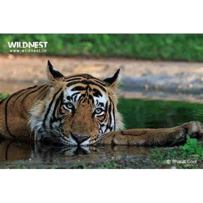 Tigers of Ranthambore National Park - Wild Nest