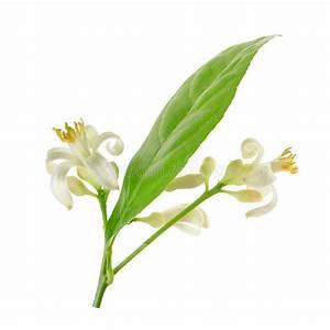 Prix D Un Citronnier : branche d 39 un citronnier avec des fleurs d 39 isolement sur le ~ Premium-room.com Idées de Décoration