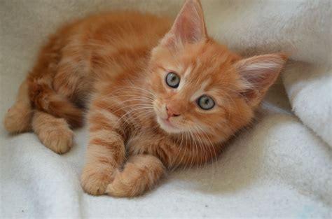 Last Ginger Semi Longhaired Male Kitten Pinner