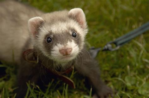 are ferrets pets reason why ferrets make good pets