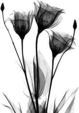 X-ray of a flower   Xray art, Black flowers, Tulip tattoo