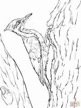 Woodpecker Coloring Pileated Woodpeckers Pages Printable Drawing Drawings Birds Crafts Supercoloring sketch template
