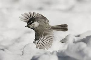 1000+ images about Chickadees on Pinterest
