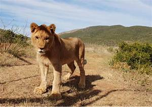 Borne Free Lyon : adopt with born free on world lion day discover animals ~ Medecine-chirurgie-esthetiques.com Avis de Voitures