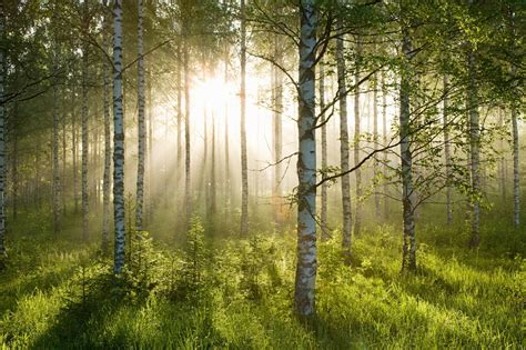 Sunlight Streams Into Bathrooms Connected To Nature : Birch Forest Sunlight Wallpaper Mural