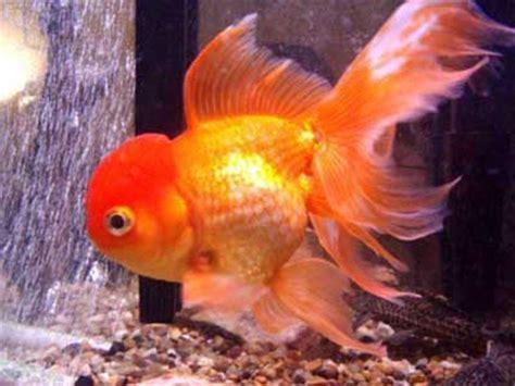 care  goldfish eggs