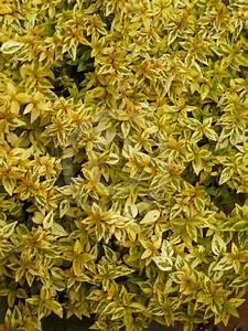 Abelia Grandiflora Kaleidoscope : abelia grandiflora kaleidoscope kaleidoscope abelia ~ Melissatoandfro.com Idées de Décoration