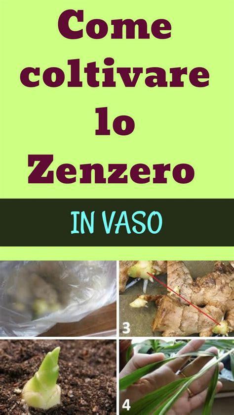 coltivare zenzero vaso come coltivare lo zenzero in vaso giardino verticale