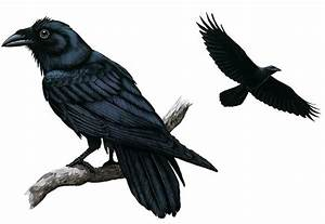 Common Ravens, Common Raven Pictures, Common Raven Facts ...
