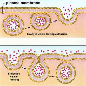 Active Transport   Endocytosis And Exocytosis