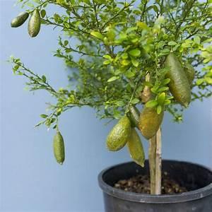 Planter Un Citronnier : citron caviar pulpe jaune 39 polpacialla 39 plantes et jardins ~ Melissatoandfro.com Idées de Décoration