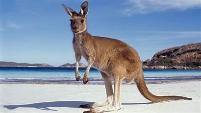 Kangaroo Facts Kangaroos Kangeroo Interestingfacts Eat Animals