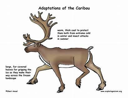 Adaptations Caribou Arctic Adaptive Hooves Traits Fur