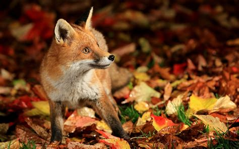 Fall Wallpaper With Animals - fox animals fall nature leaves wallpapers hd desktop