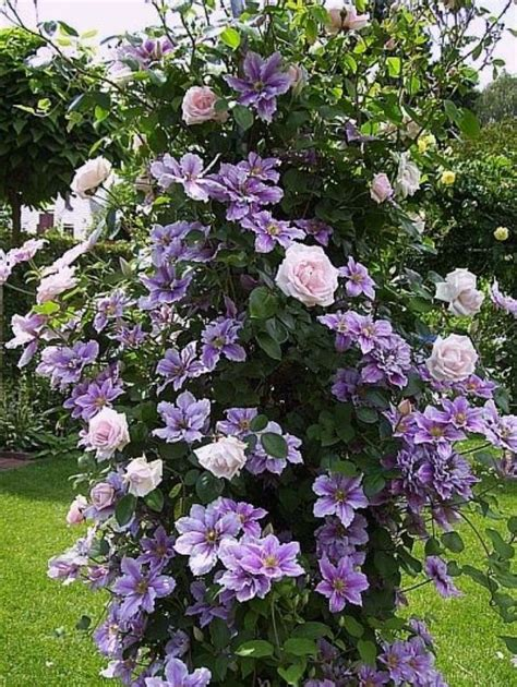 Clematis And Rose … Pinteres…