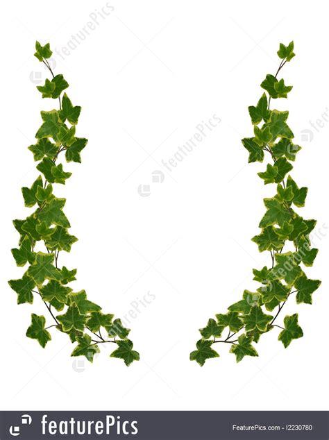 ivy border element isolated illustration
