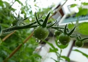 Tomaten Wann Pflanzen : tomaten pflanzen auf dem eigenen balkon so klappt es garantiert ~ Frokenaadalensverden.com Haus und Dekorationen