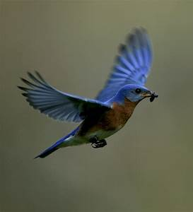 Animals World: indian animals of eastern blue bird pictures