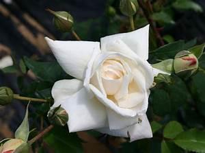 Ilse Krohn Superior : trandafiri urcatori albi soiul ilse kron superior de vanzare ~ Eleganceandgraceweddings.com Haus und Dekorationen