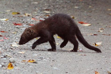 Fisher (Common Mammals of Nova Scotia) · iNaturalist org