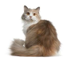 hair cat breeds longhair cat breed longhair cat breed