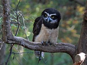 Spectacled Owl | www.pixshark.com - Images Galleries With ...