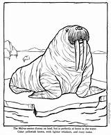 Walrus Coloring Zoo Animal Printable Pages Sheets Animals Colouring Fun Raisingourkids Books sketch template