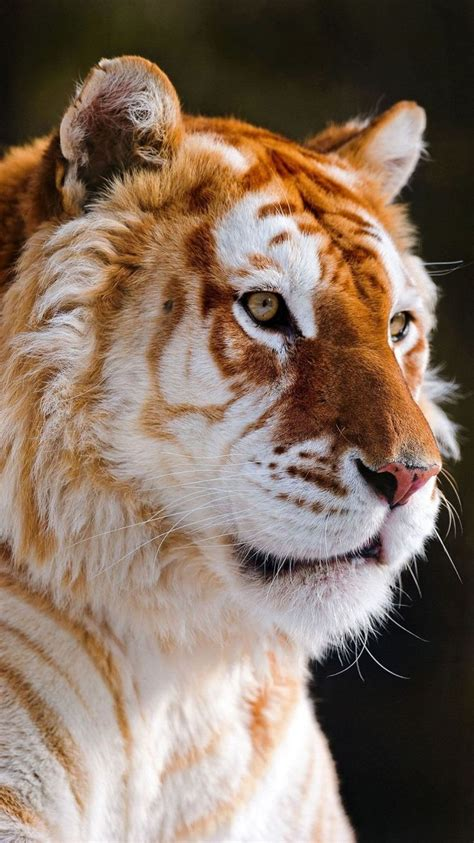 Iphone Ios Wallpaper Tumblr For Ipad Golden Tiger