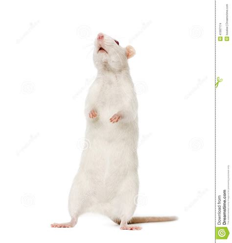 White Rat On Hind Legs (8 Months Old) Stock Photo - Image ...