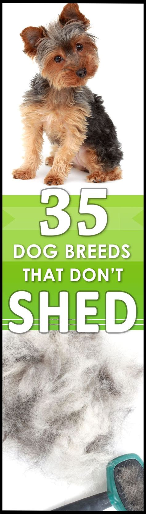 Breeds Of That Don T Shed by Best 25 Hypoallergenic Breed Ideas On
