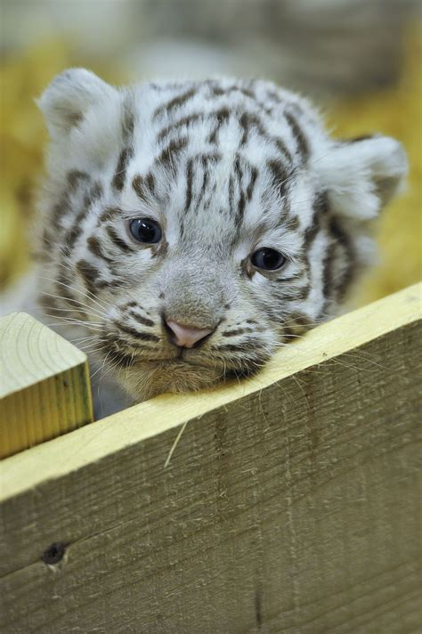 baby tiger white 30 of the happiest facts tiger cub tigers and animal