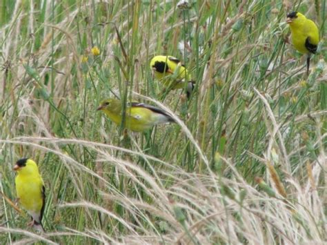 wild birds unlimited attract yellow birds to your yard