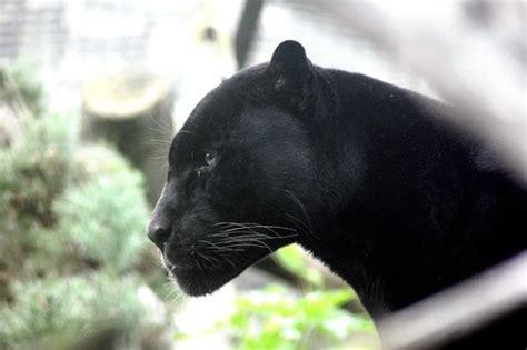 groupe de danois  cru voir une panthere noire dans les