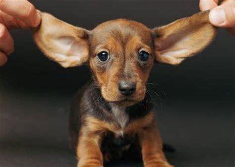 cute puppy dogs cute dachshund puppies