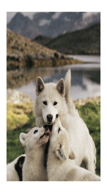 Animals Dog Husky Gify Funny Wolf Pups