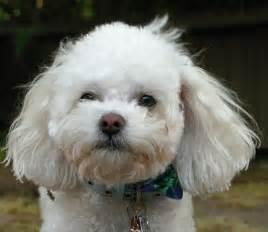 Bichon Frise Poodle Mix