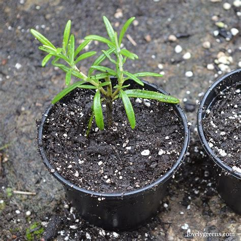 plants for free how to propagate rosemary from cuttings