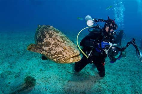 goliath grouper atlantic endangered pouted characteristics