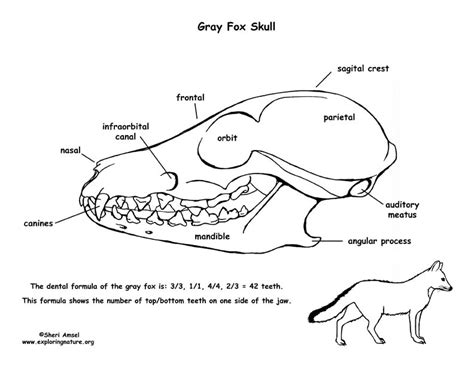 gray fox skull diagram  labeling
