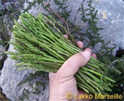 comment cuisiner les asperges sauvages asperge sauvage asparagus acutifolius