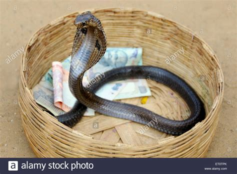 Cobra Snake Stock Photos & Cobra Snake Stock Images