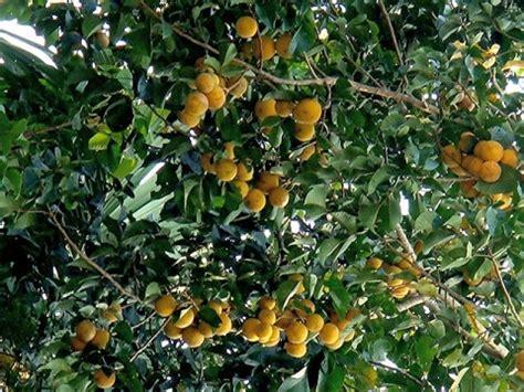 Sandoricum koetjape - Useful Tropical Plants