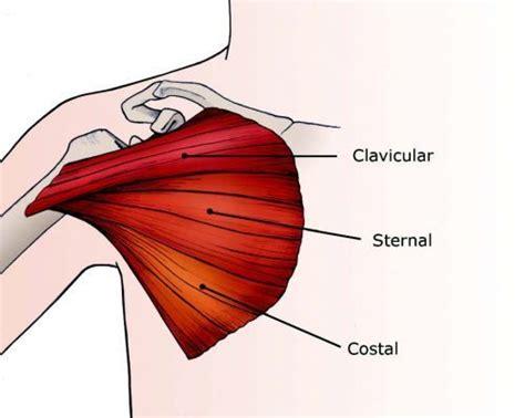 Diagram Pectorali Major pectoralis major ruptures in athletes el paso
