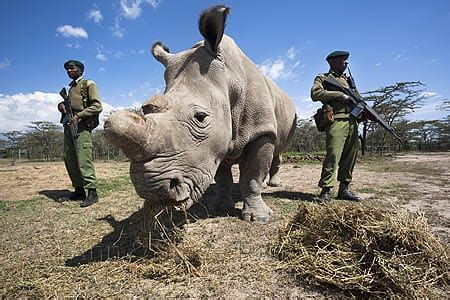 Northern White Rhino Armed Guards