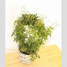 Send A Fragrant Jasmine As A Plant Gift  Quality Plants