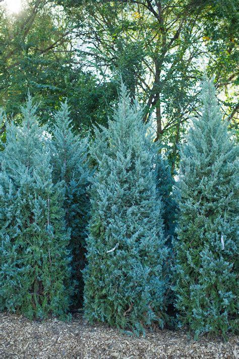 blue juniper juniper wichita blue creekside tree nursery