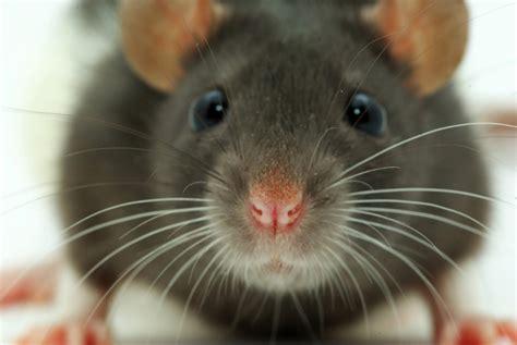 rats exterminators    rid  rats rat trapping
