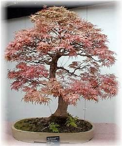 Pflege Bonsai Baum Indoor : baeume bonsai pflege tipps stilkunde ~ Michelbontemps.com Haus und Dekorationen
